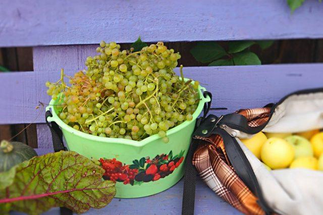 Урожай винограда «Коринка Русская» мы собираем в начале августа