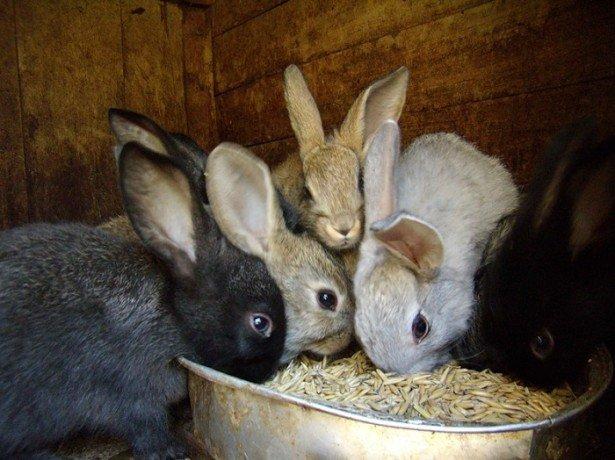 На фото кормление кроликов