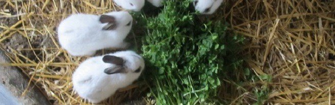 Роды крольчихи или как получить здоровый приплод