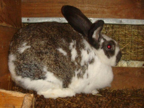 Беременность крольчихи
