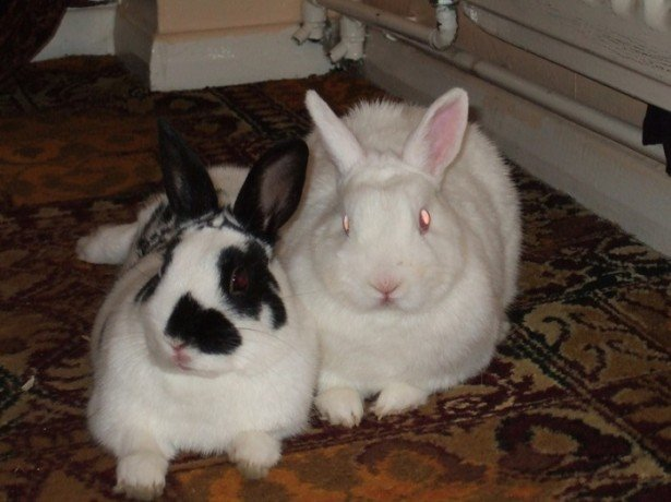 Полезные советы начинающим кролиководам по размножению кроликов