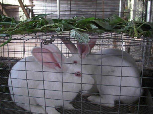 Полезные советы начинающим кролиководам по размножению кроликов фото