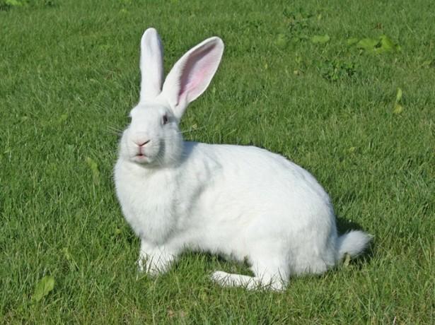 Чем хороши увесистые потомки патагонских кролей фото