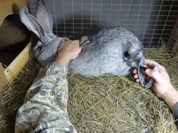 Подробнее о кормлении кролей и профилактике заболеваний фото