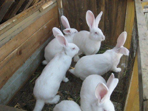 Бизнес-план по разведению кроликов фото