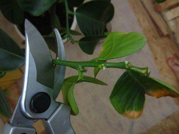 Фотография обрезки лимона