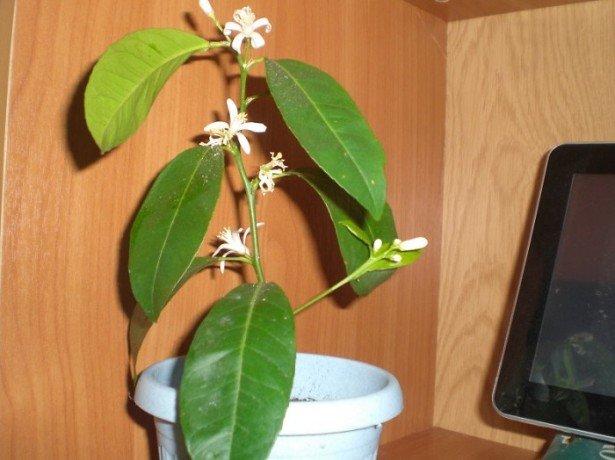 Посадка и уход за лимонным деревом