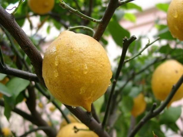 Посадка и уход за лимонным деревом фото