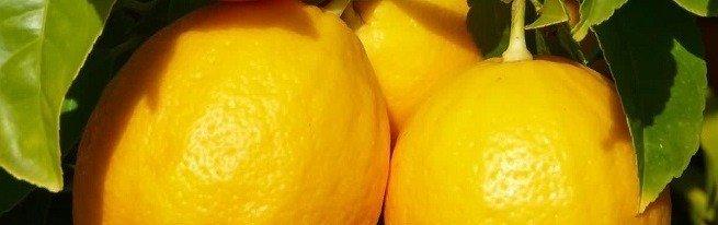 Как вырастить лимон из косточки и радовать себя домашним урожаем из лимончиков