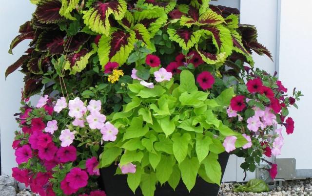 Лучше всего высаживать композиции с участием комнатных растений в начале июня, когда полностью минует угроза возвратных заморозков