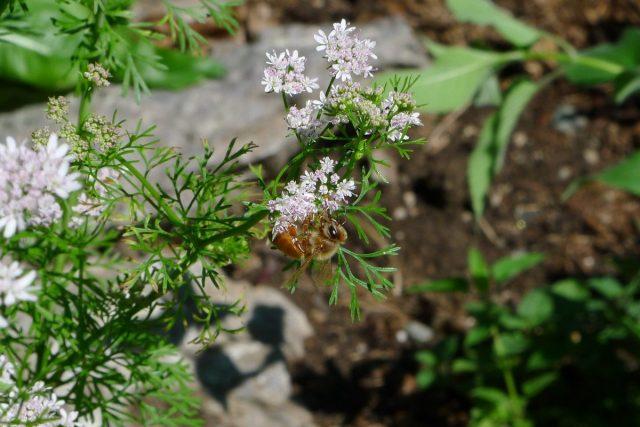 Пчела на кориандре, пыльца — фиолетовая