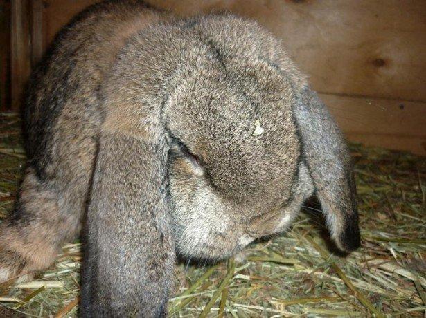 Фото кролика породы Баран