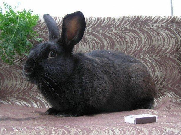 На фото черно-бурый кролик
