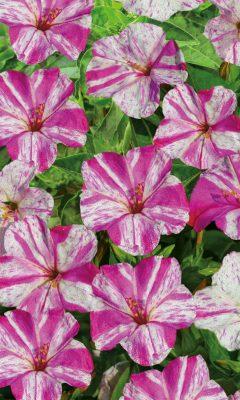 Мирабилис «Фантазер» бело-розовой окраски