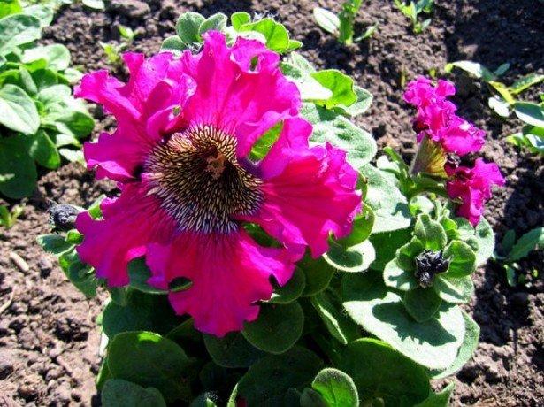 На фото петуния триумф темно-розовая