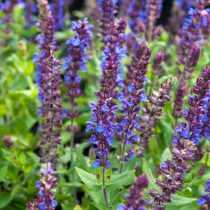 Шалфейдубравный «Нью Дименшен Блю»(Salvia nemorosa 'New Dimension Blue')