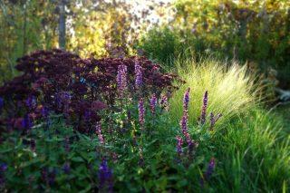Вторая волна цветения шалфея беднее и все же он живописно дополняет цветник осенью