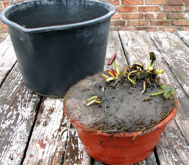 В качестве растения для маленького пруда я выбрал нимфею