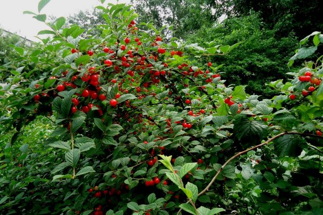 Мои сибирские вишни — самые зимостойкие виды и сорта