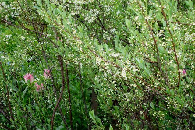 Цветение вишни «Бессея»