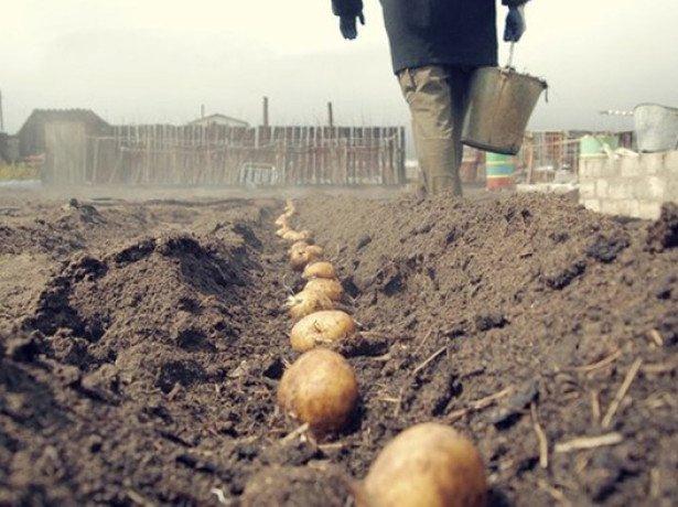 На фото посадка картофеля под лопату