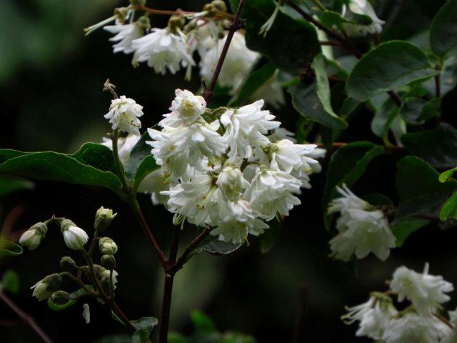 Дейция шершавая (Deutzia scabra) 'Plena'