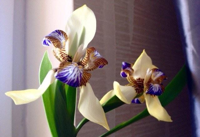 Большинство комнатных неомарик цветет только в солидном возрасте