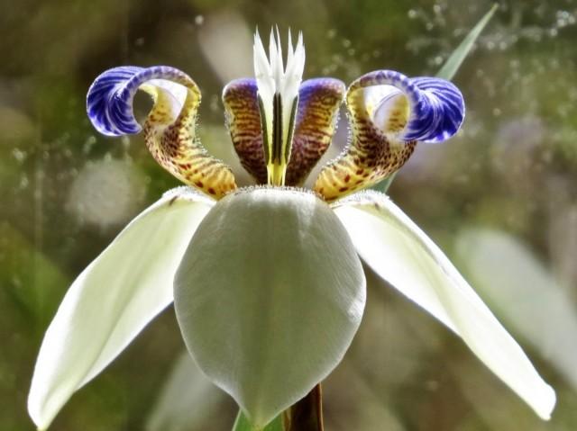 Шагающий ирис, или Неомарика — великолепная экзотика на подоконнике