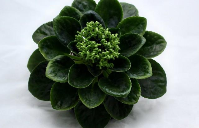 Сенполия, сорт Neverfloris («Никогда не цветущий»)