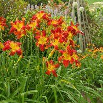 Современные лилейники (Hemerocallis) могут быть любого цвета, кроме глубоко синего и белого в чистом виде