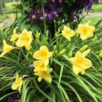 Универсальность лилейников позволяет использовать растения в дизайне сада буквально как угодно