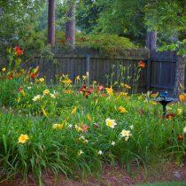 Лилейники хороши сами по себе – небольшой группой или массивом посреди газона