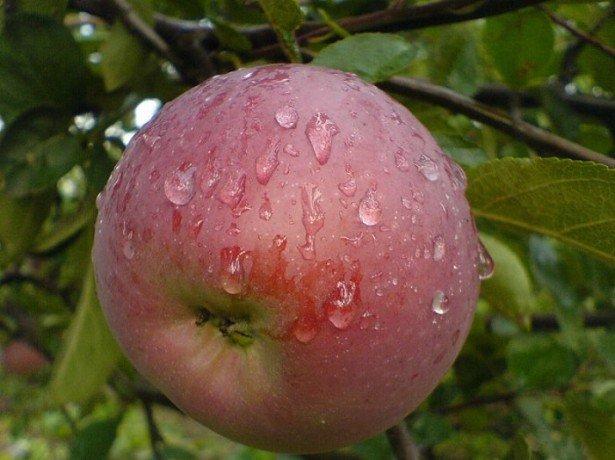 """На фотографии сорт яблок """"Орлик"""""""