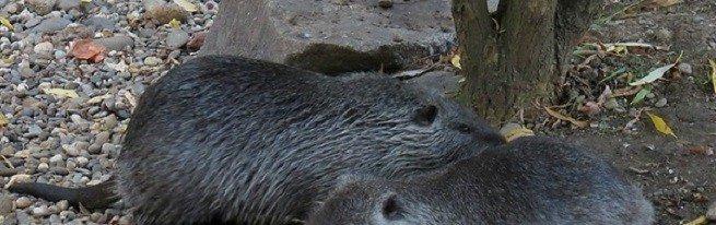 Содержание нутрий – основные правила, способствующие здоровью животного