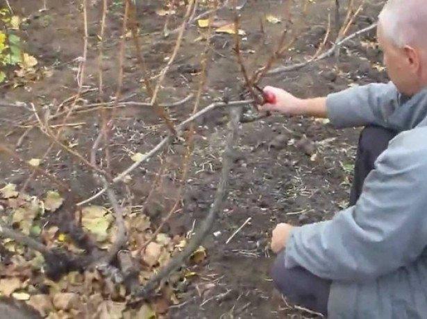 На фото осенняя обрезка винограда