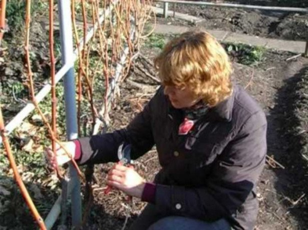 На фото обрезка винограда для начинающих