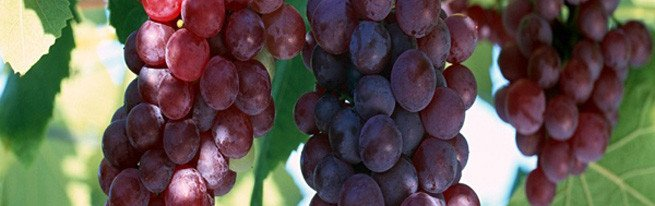 Обрежьте виноград на зиму, и урожай вас удивит