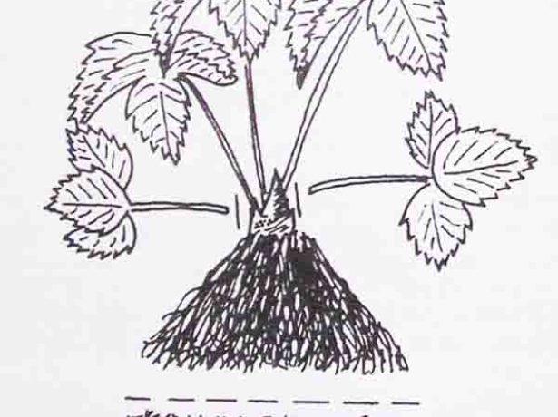 Обрезка корней земляники