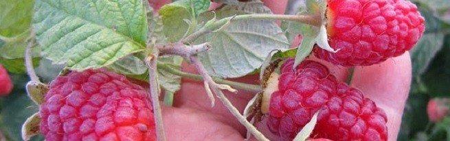 Обрезка малины осенью как способ увеличения урожайности и повышения зимостойкости