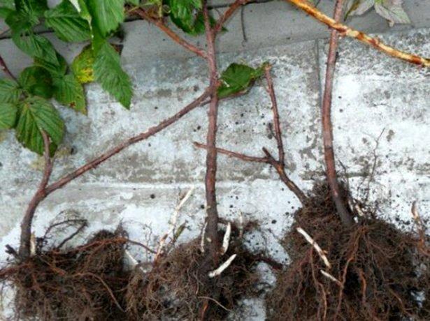 Одревесневшие отпрыски малины