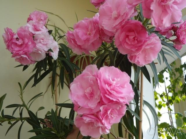 Олеандр - комнатное растение только для очень солнечных мест