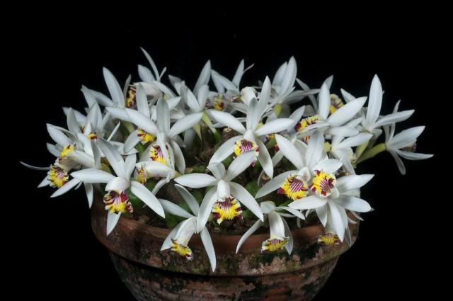 Плейоне пятнистая (Pleione maculata)