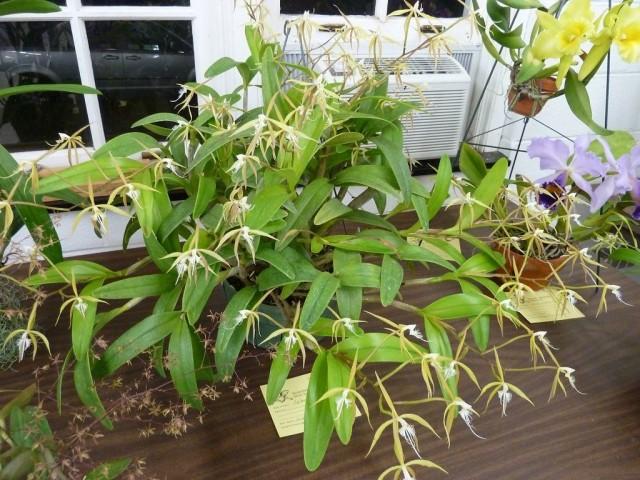 Эпидендрум реснитчатый (Epidendrum ciliare)