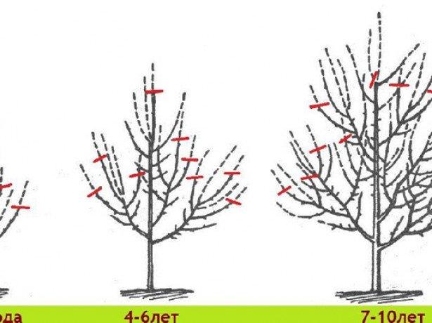 Цели обрезки дерева фото