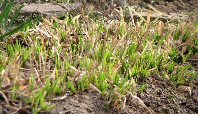 Обрезка декоративных трав весной позволяет быстрее тронуться в рост новым побегам