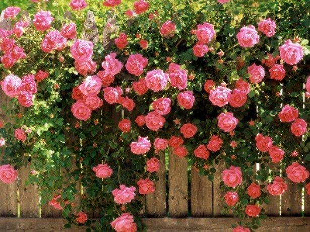 Фотография плетистой розы