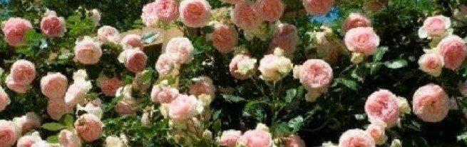 Плетистые розы для украшения участка – какие сорта выбрать, и где их посадить