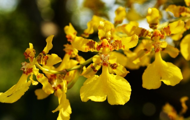 Орхидея онцидий (Oncidium)
