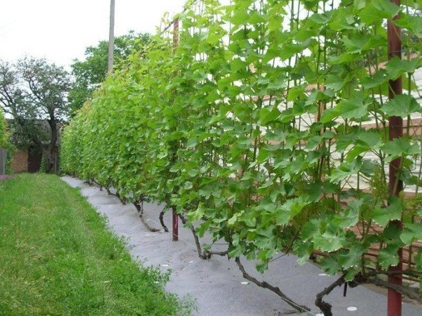 Советы опытных виноградарей