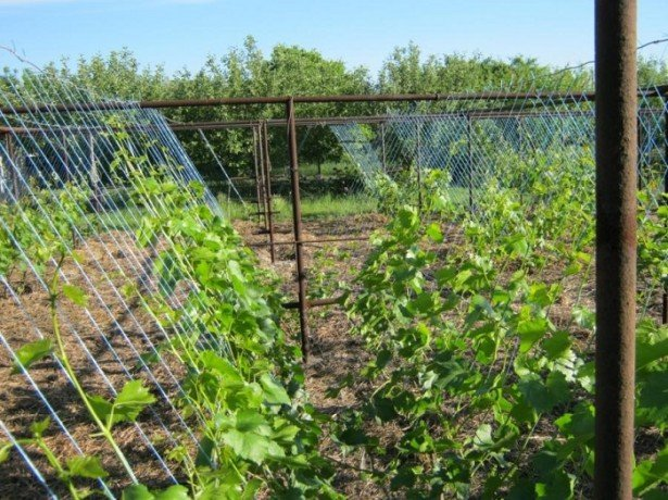 Как подвязывать виноград наиболее оптимально? фото